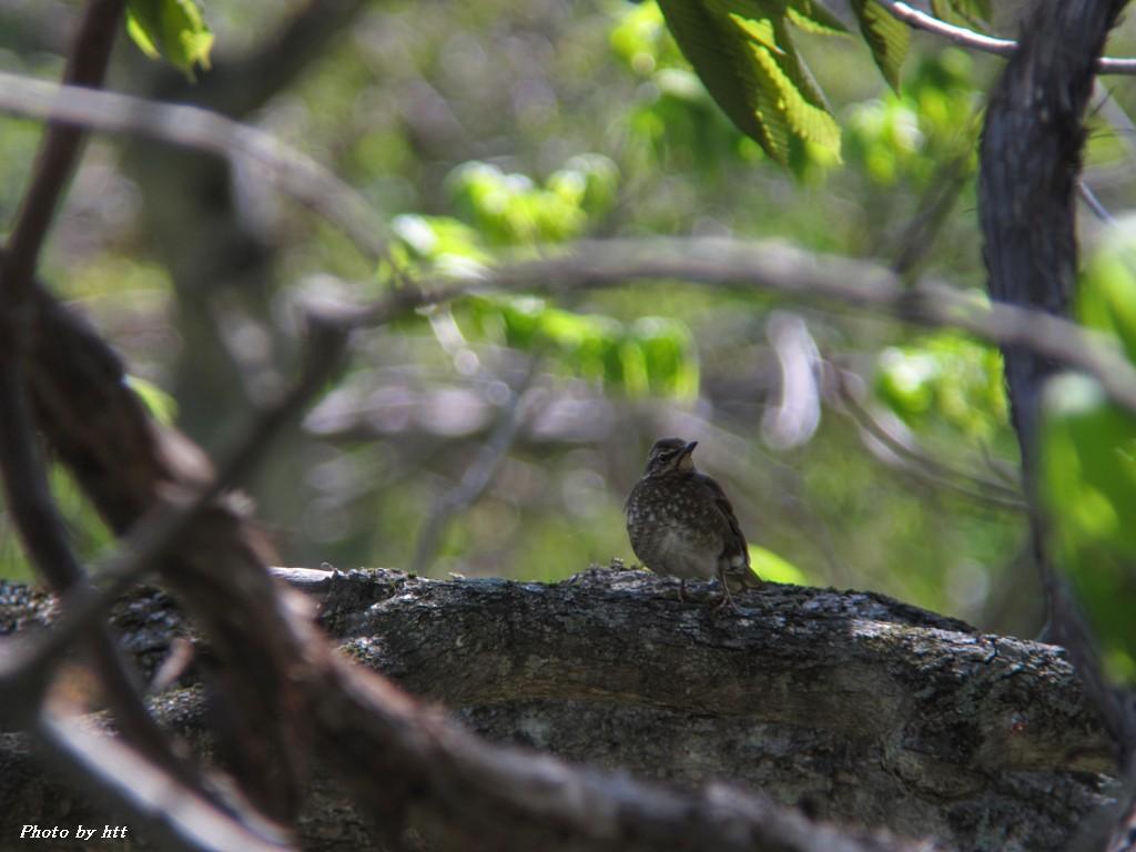 2012年5月12日 船形山麓 ~お久し振りの野鳥2種~_f0148627_22313819.jpg