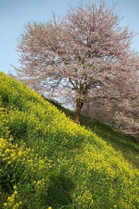 福島 桜巡り 二本松市・合戦場の枝垂れ桜 その2_e0165983_16105171.jpg