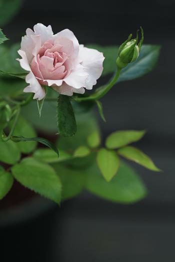 [猫的]ばら、バラ、薔薇・・・_e0090124_7112236.jpg