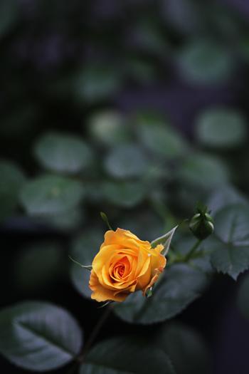 [猫的]ばら、バラ、薔薇・・・_e0090124_7113567.jpg