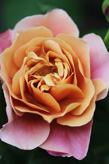 [猫的]ばら、バラ、薔薇・・・_e0090124_711959.jpg
