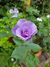 バラの季節_f0207652_15281495.jpg