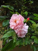 バラの季節_f0207652_15285721.jpg