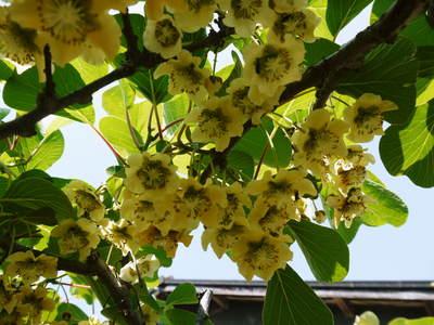 FLC日記 キウイの摘花、茶摘_a0254656_903936.jpg