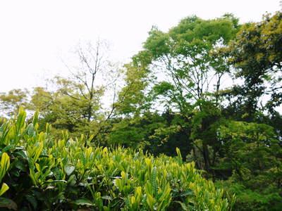 FLC日記 キウイの摘花、茶摘_a0254656_9123016.jpg