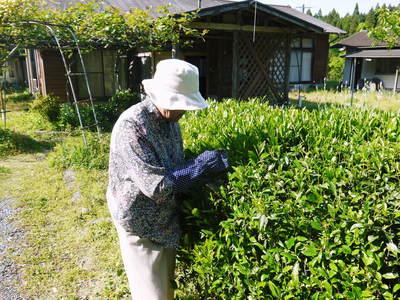 FLC日記 キウイの摘花、茶摘_a0254656_9171341.jpg