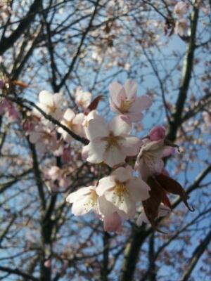 春のお花見シーズンです♪_a0164408_1423694.jpg