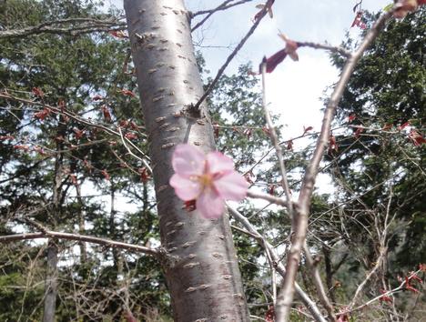 桜一輪_f0219043_9591384.jpg