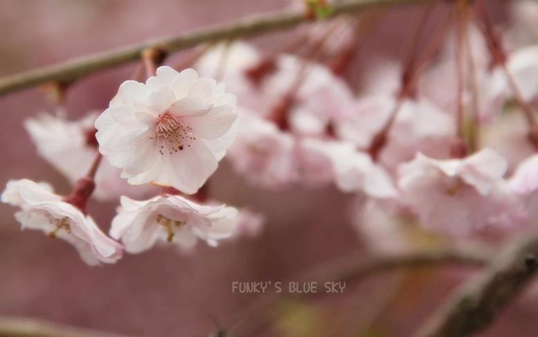 SAKURA*2012 【その5-2 また来年・・】_c0145250_11305464.jpg