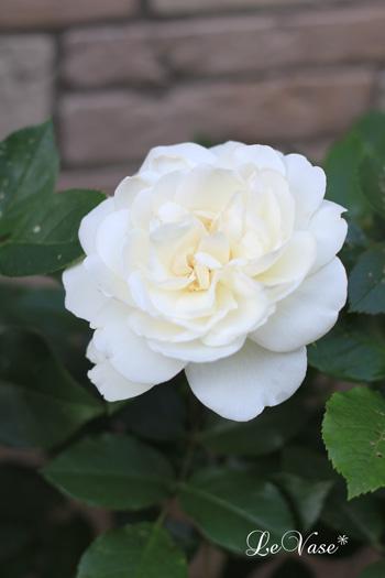 庭の花たち_e0158653_20545558.jpg
