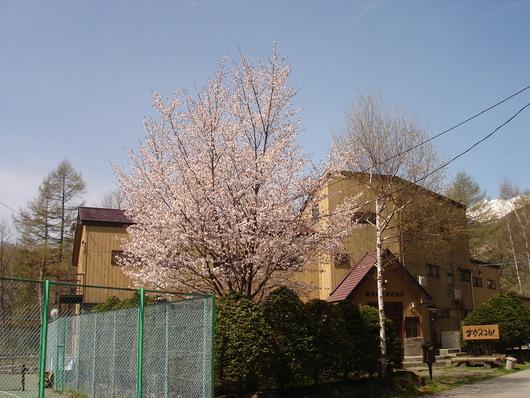 真っ白な乗鞍岳*山桜 すももの花の季節になりました_a0217365_12292932.jpg