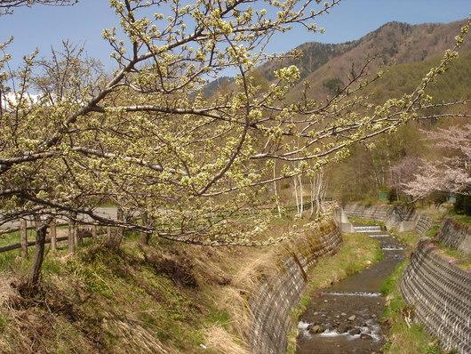 真っ白な乗鞍岳*山桜 すももの花の季節になりました_a0217365_12312776.jpg