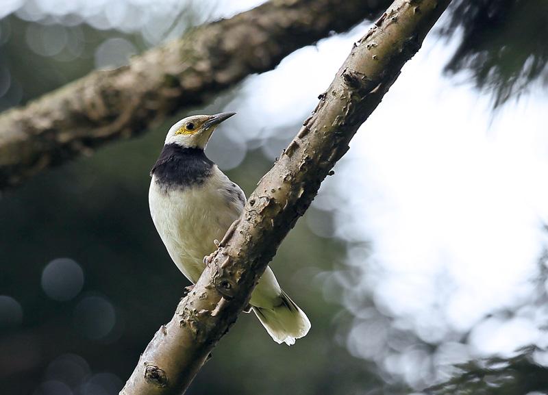 台湾の野鳥⑭「クビワムクドリ(首輪椋鳥)」_d0195897_11574614.jpg