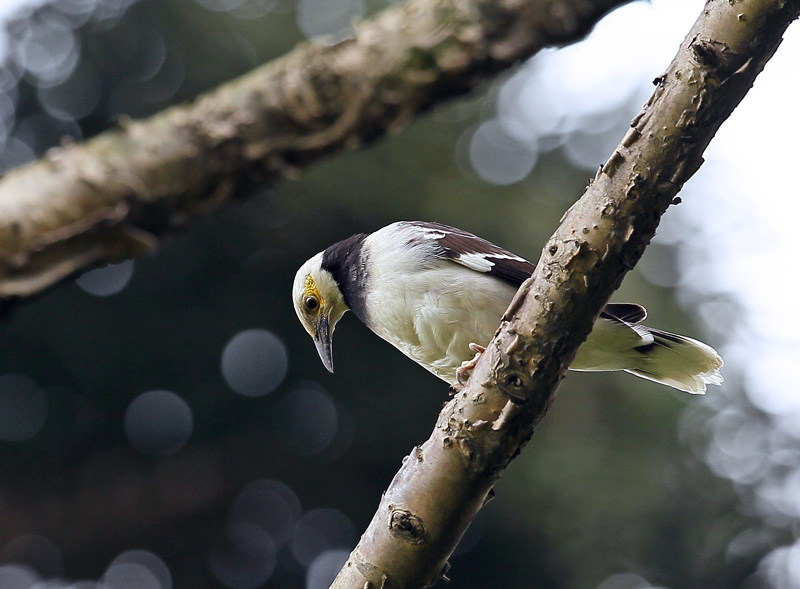 台湾の野鳥⑭「クビワムクドリ(首輪椋鳥)」_d0195897_11582096.jpg