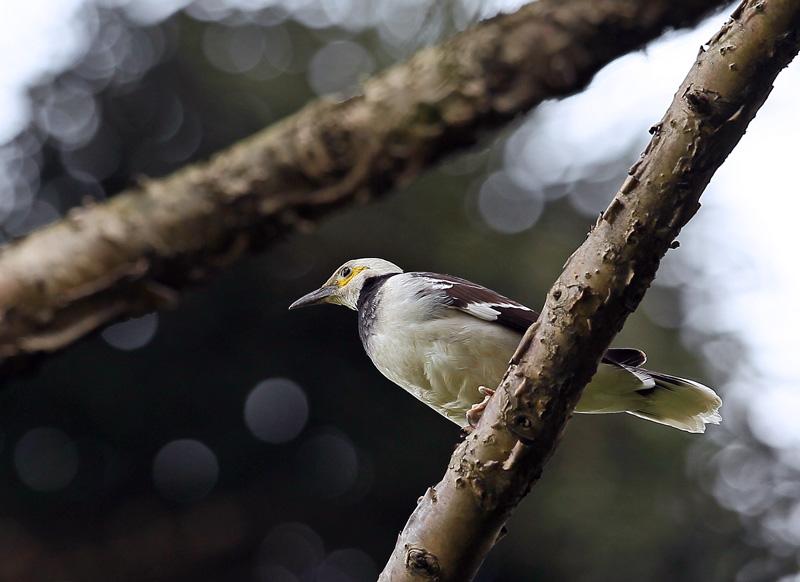 台湾の野鳥⑭「クビワムクドリ(首輪椋鳥)」_d0195897_11584099.jpg
