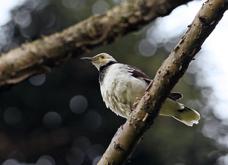 台湾の野鳥⑭「クビワムクドリ(首輪椋鳥)」_d0195897_1159287.jpg