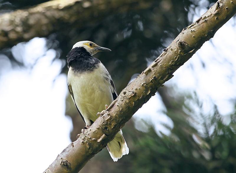 台湾の野鳥⑭「クビワムクドリ(首輪椋鳥)」_d0195897_115957.jpg