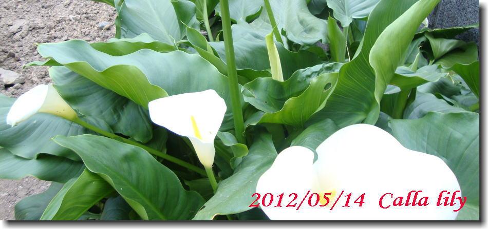 プリンセスマサコが咲きました。_e0014000_10103210.jpg