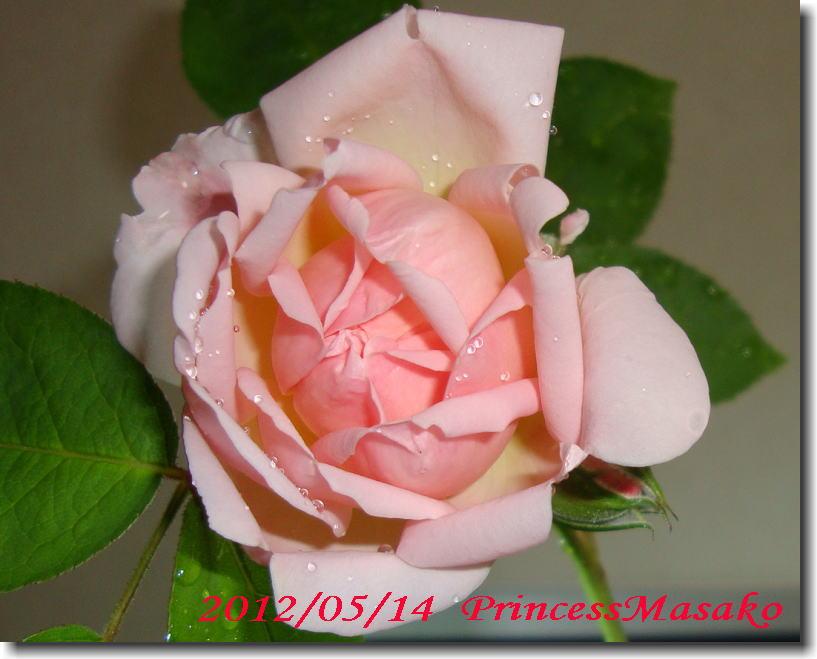プリンセスマサコが咲きました。_e0014000_1025912.jpg