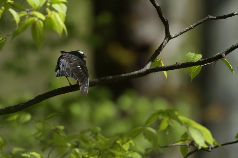 古くからの鳥友と【マミジロ・コマドリ】_b0113228_21432052.jpg