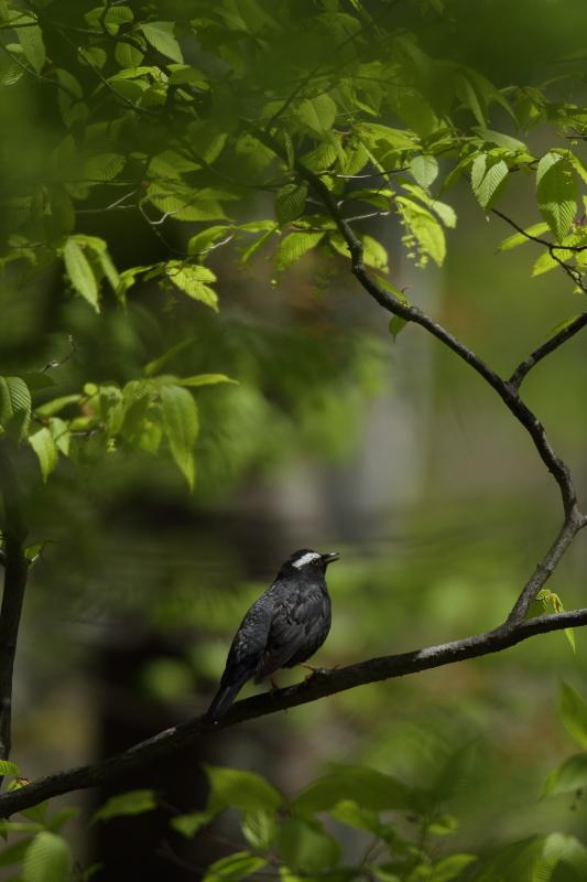 古くからの鳥友と【マミジロ・コマドリ】_b0113228_2143720.jpg