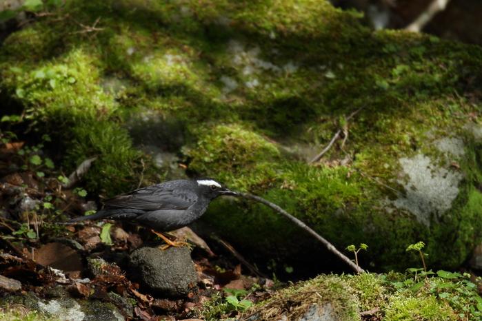 古くからの鳥友と【マミジロ・コマドリ】_b0113228_21453827.jpg