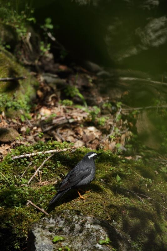 古くからの鳥友と【マミジロ・コマドリ】_b0113228_21464851.jpg