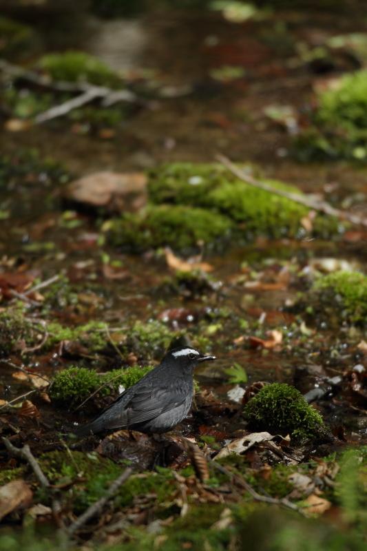 古くからの鳥友と【マミジロ・コマドリ】_b0113228_21472370.jpg