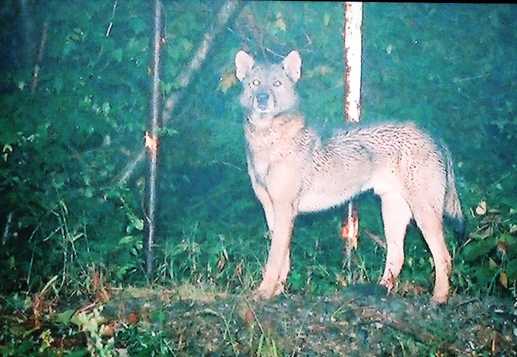 ニホンオオカミの画像 p1_37
