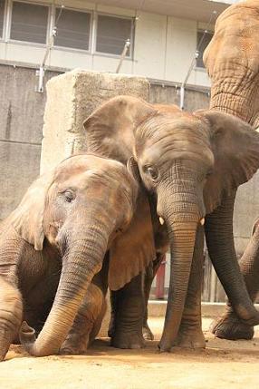 アフリカゾウ家族のことを知ってください_e0272869_18103229.jpg