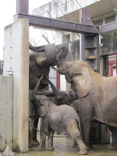 アフリカゾウ家族のことを知ってください_e0272869_18251723.jpg