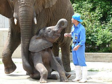 アフリカゾウ家族のことを知ってください_e0272869_1893869.jpg