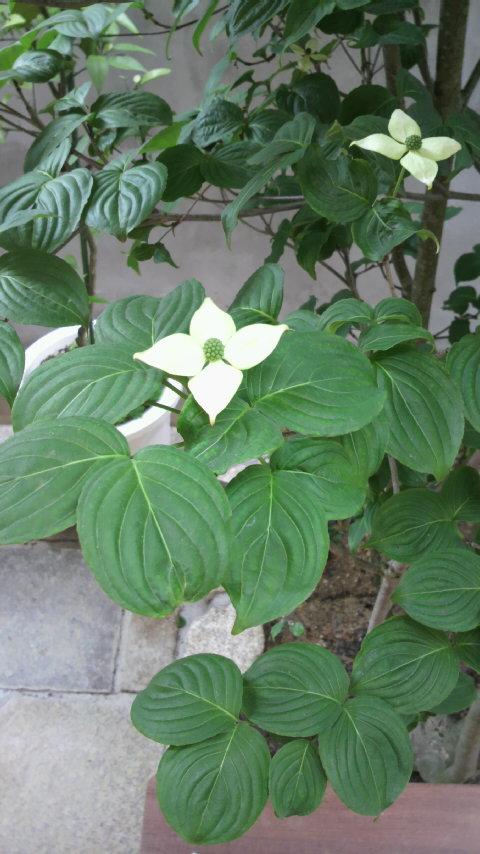 山法師の花とレモンの蕾_f0052181_22344311.jpg