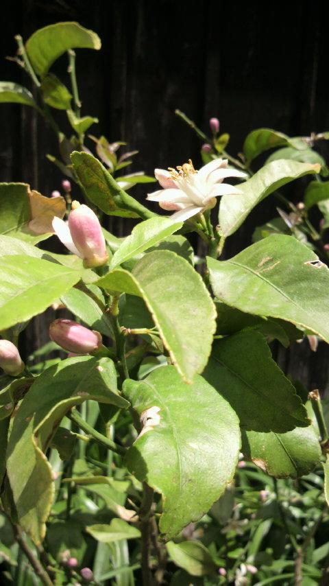山法師の花とレモンの蕾_f0052181_22344336.jpg
