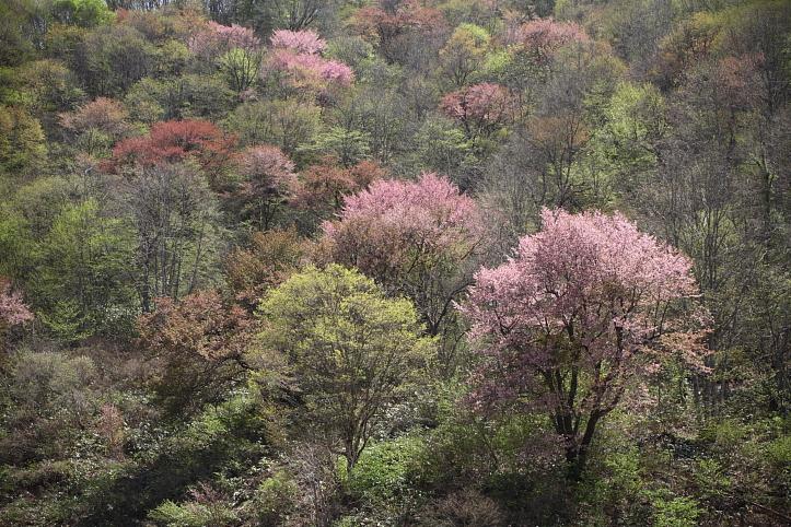 福島 桜巡り 下郷町・戸赤の山桜 その1_e0165983_110460.jpg