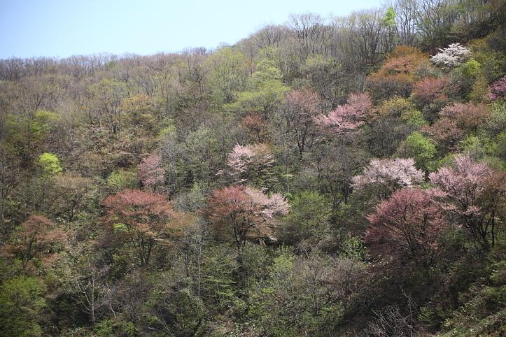 福島 桜巡り 下郷町・戸赤の山桜 その1_e0165983_1132238.jpg