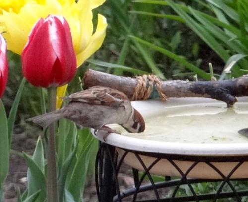 警戒心の強いスズメがようやく新しい水場に・・・♪_a0136293_19173761.jpg