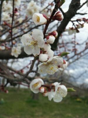 春のお花見シーズンです♪_a0164408_14541654.jpg