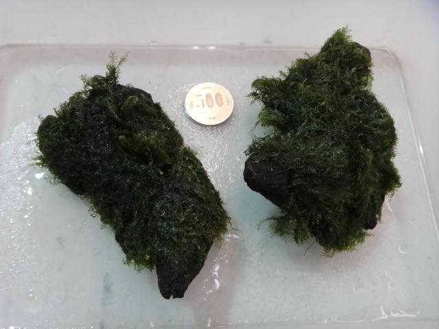 120516 海水魚・サンゴ・水草・淡水魚_f0189122_13173223.jpg