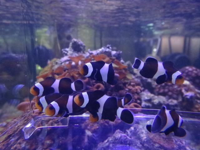 120516 海水魚・サンゴ・水草・淡水魚_f0189122_1394482.jpg