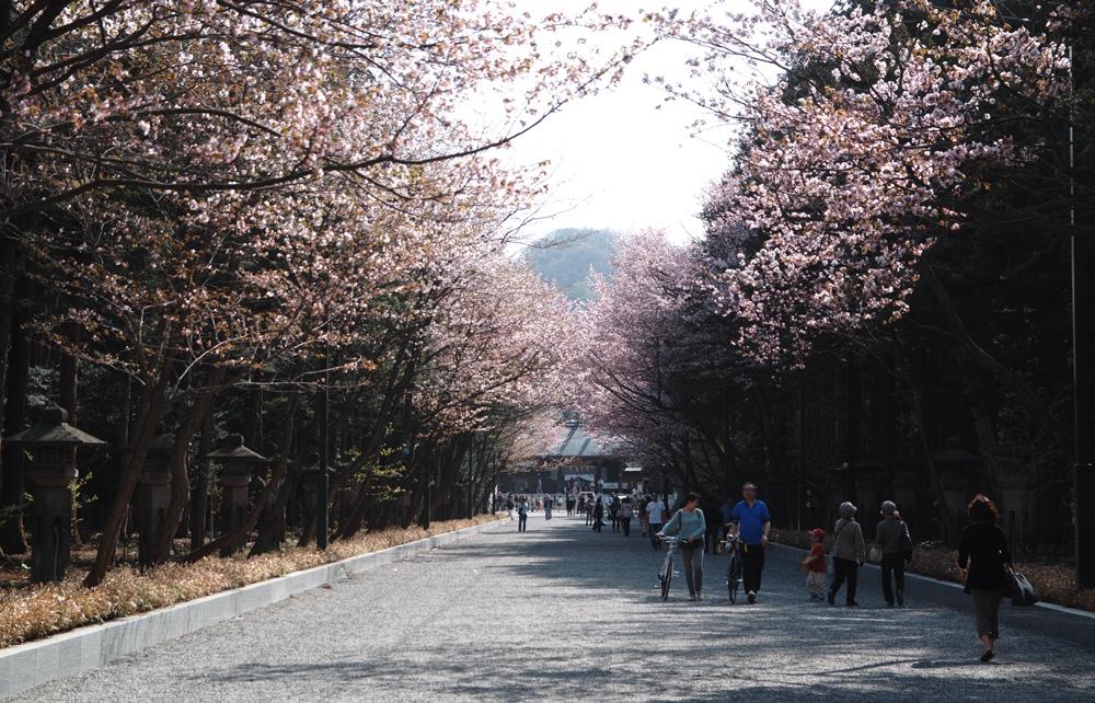 サクラが満開の北海道神宮_c0223825_2353599.jpg