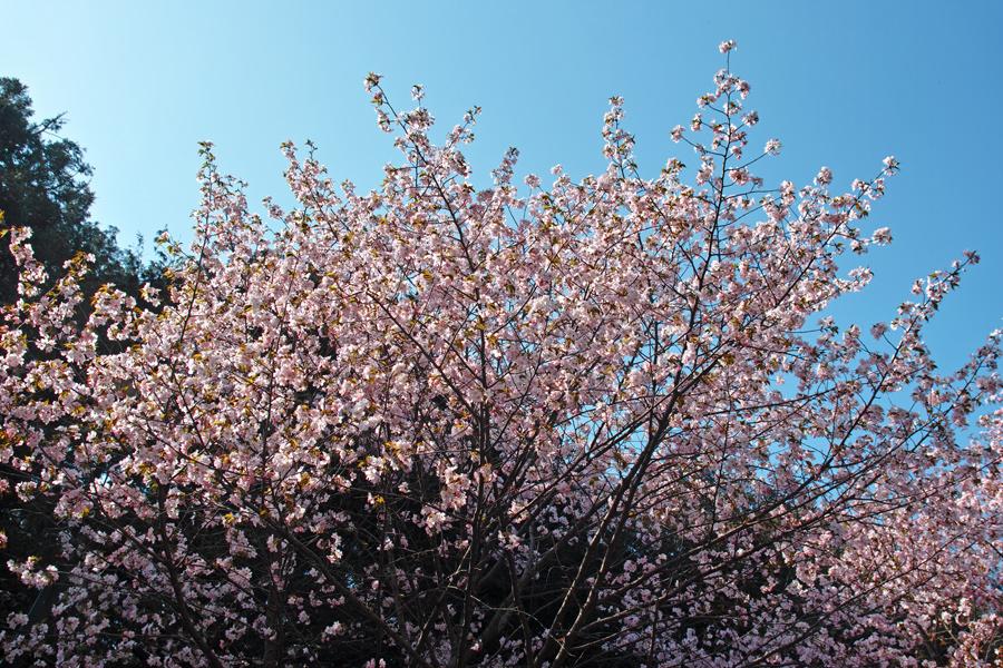 サクラが満開の北海道神宮_c0223825_23595041.jpg
