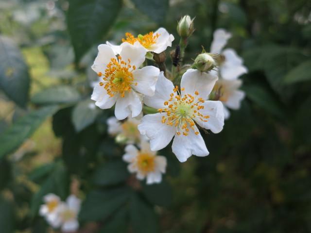 庭のバラ(フラワーアアレンジメント)_e0233674_756797.jpg