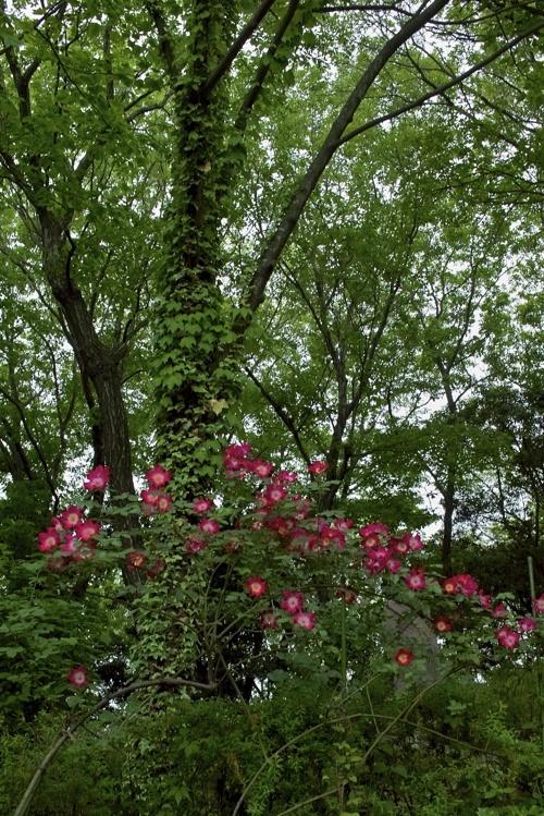日本経済大学イングリュッシュガーデンにバラを見に行って来ました。 その2_a0037907_21374542.jpg
