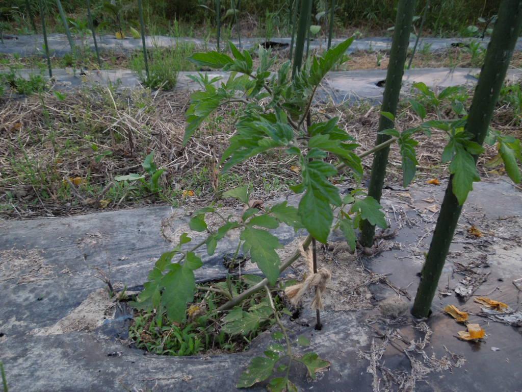 「不耕起栽培 夏野菜①-2012」_a0120513_21584013.jpg