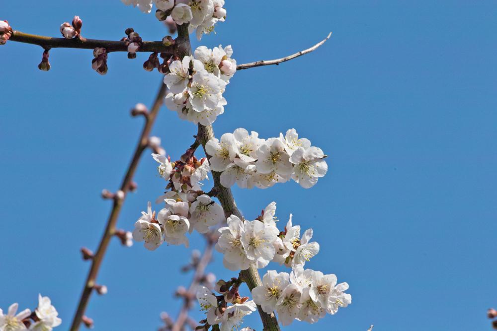 サクラが満開の北海道神宮_c0223825_0282035.jpg