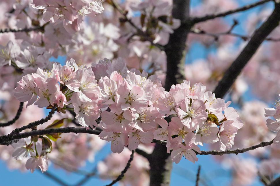 サクラが満開の北海道神宮_c0223825_0322713.jpg