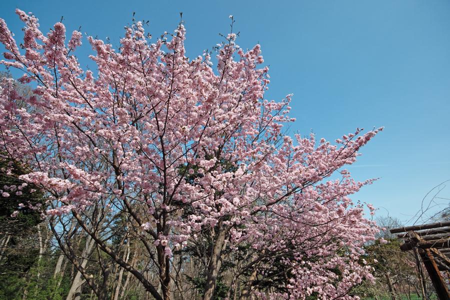 サクラが満開の北海道神宮_c0223825_0454137.jpg