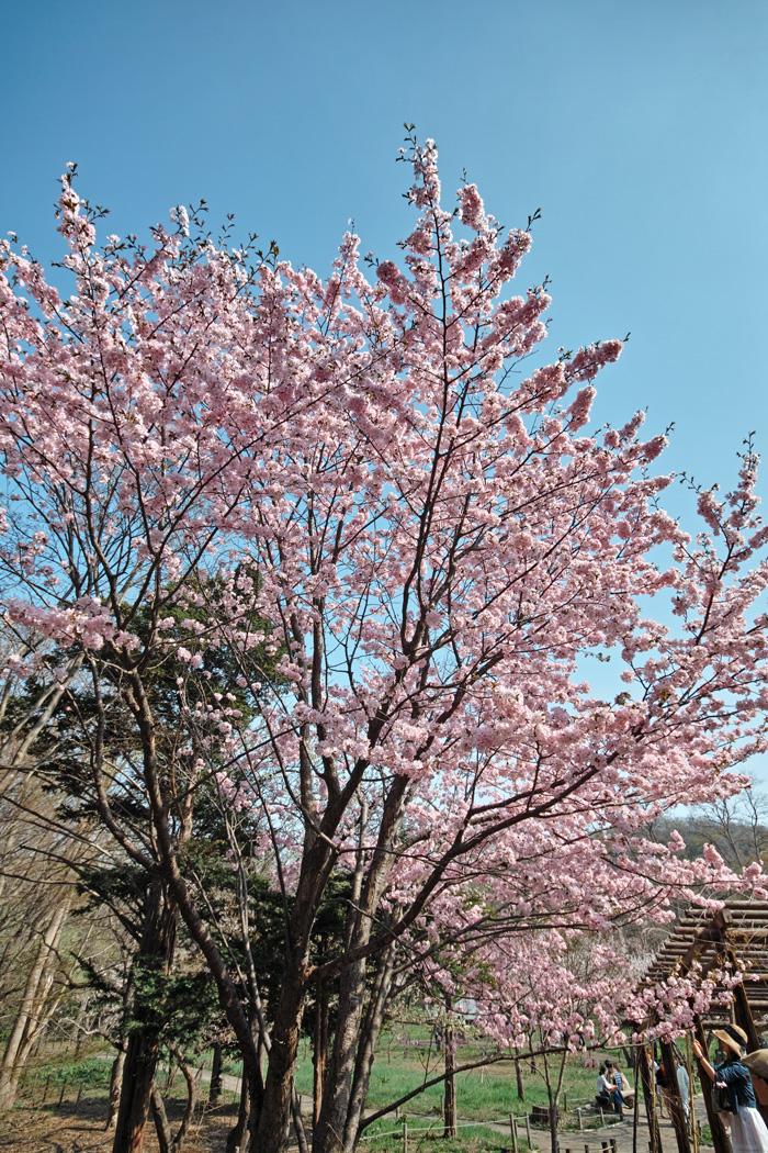 サクラが満開の北海道神宮_c0223825_048773.jpg