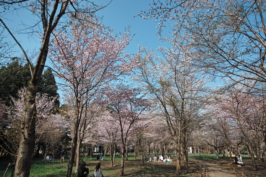 サクラが満開の北海道神宮_c0223825_0522190.jpg